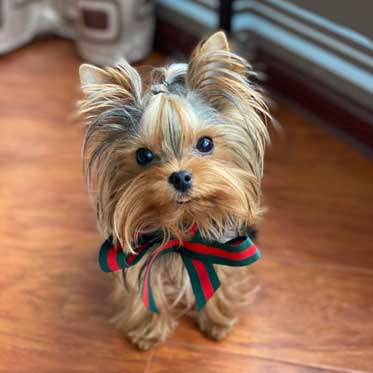 Buy yorkie puppies for sale